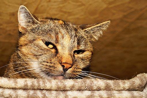 Cat, Female, Pet, Cat Face, Lion, Domestic Cat, Animal