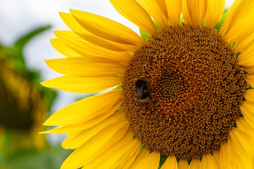 Bumblebee, Sunflower, Flower, Plant, Bee, Insect