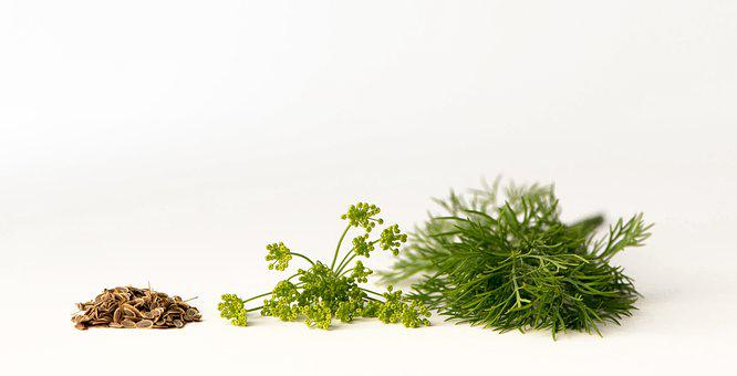 Dill, Kapormag, Dill Flower, Seeds, Spice, Green Spice