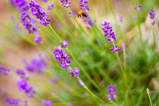 Bumblebee, Insect, Lavender, Nature, Flower, Purple