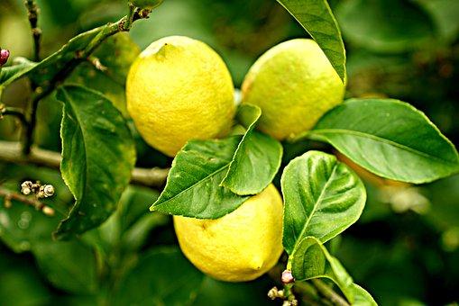 Lemons, Lemon Tree, Citrus, Natural, Orchard, Farm