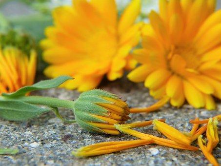 Marigold, Calendula, Blossom, Bloom, Orange, Heal