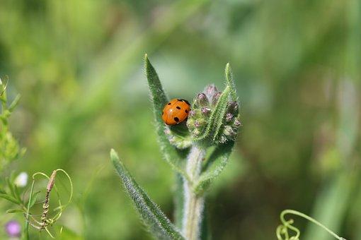Ladybug, Beetle, Nature, Macro, Insect, Animal, Plant