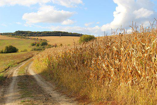 Corn On The Cob, Field, Nature, Slovakia, Country