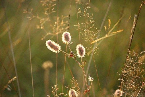 Rabbit Clover, Plant, Autumn, Light, Nature