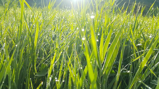Grass Water Drops, Grass, Vegetation Growth, Plant