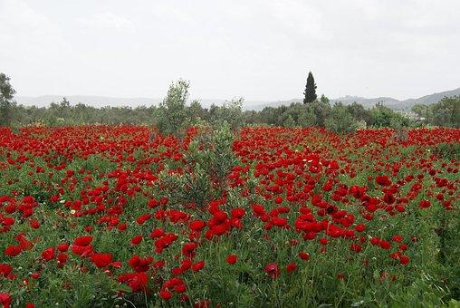 Poppy, Field, Nature, Landscape, Wide, Red