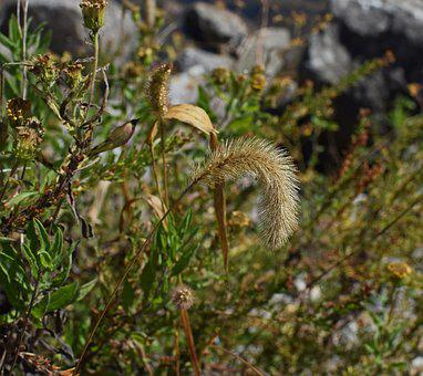 Fuzzy Grass In Fall, Grass, Plant, Monocot, Seed