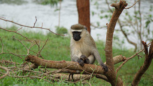 Monkey In Small Tree, The Source Of The River Nile
