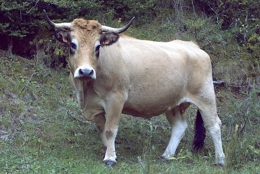 Cow, Animal, Veal, Animal Nature, Blonde Cow, Milk