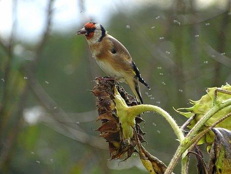 Goldfinch, Stieglitz, Songbird, Bird, Wild Bird