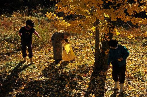 Gingko Tree, Ginkgo Picked Up, Autumn