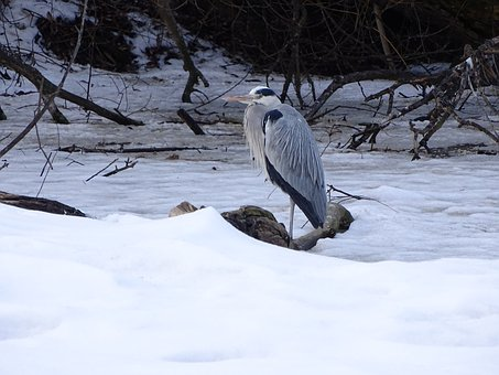Heron, Bird, Sitting, Beak, Nature, Feather, Wings