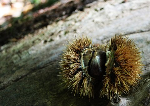 Chestnut, Curly, Autumn, Season, Chestnuts, Nature