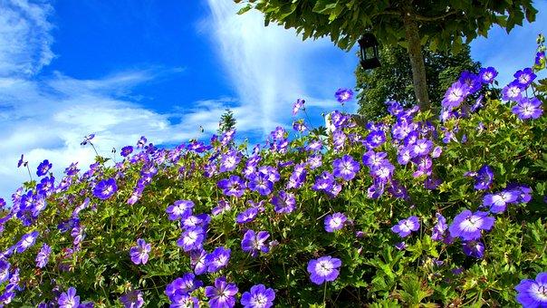 Blue, Flowers, Cranesbill, Sky, Garden