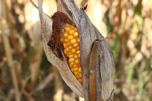Corn On The Cob, Drought, Nature, Yellow