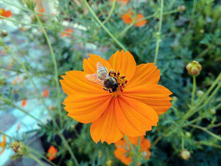 Kurdistan, Bees, Bee, Hang, Hangawan, Flower, Orange