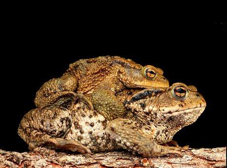 Piggyback, Toad, Frog, Bufonidae, Bufo Amplexus