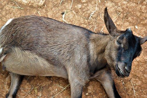 Goat, Lying, Creature, Mammals, Livestock