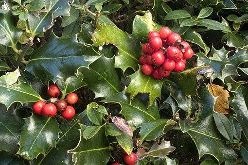 Holly, Ilex Aquifolium, Ordinary Holly, Common Holly