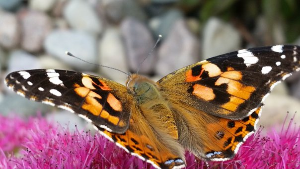 Butterfly, Insect, Nature, Lepidoptera, Wing, Moth