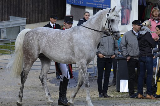 Main And State Stud Marbach, Stallion Parade, Arabs