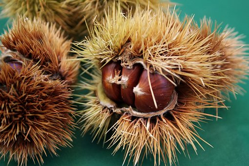 Chestnuts, Chestnut, Curly, Season, Nature, November