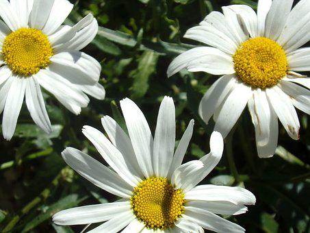 Marguerite, Flower, Nature, Garden, Petals