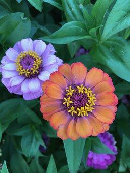 Lavender Flower, Orange Flower, Flower, 2 Flowers