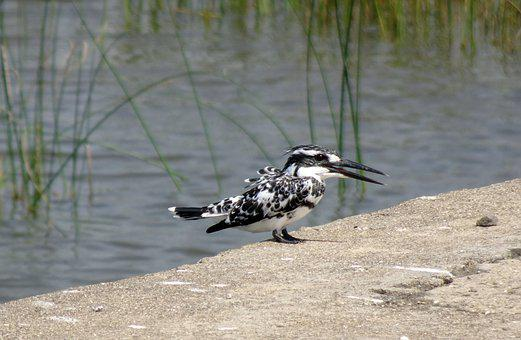 Kingfisher, Pied Kingfisher, Ceryle Rudis