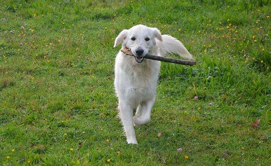 Dog Golden Retriever, Run, Prairie, Nature