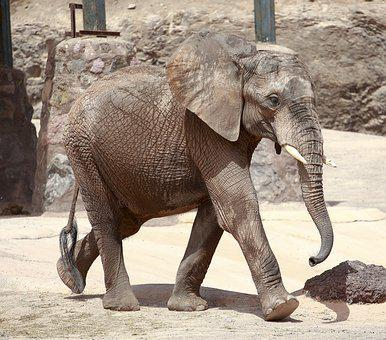 Elephant, Animal, Africa, Proboscis, Zoo