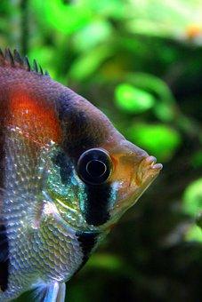 Scalar, Redback Scalar, Eye, Close Up, Aquarium, Fish
