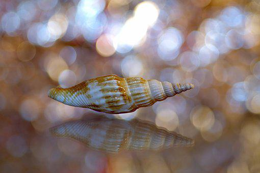 Scallop, Shell, Snail, Ornament, Color, Reflection