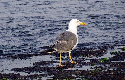 Gull, Bird, Seagull, Heuglin's Gull, Siberian Gull