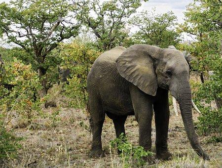 Elephant, South Africa, Nature, African Elephant, Wild