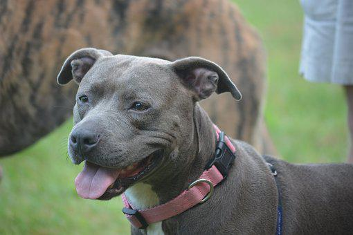 Dog, Pit Bull, Canine, Staffordshire Terrier, Pet