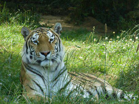Tiger, Tawny, Animal Park