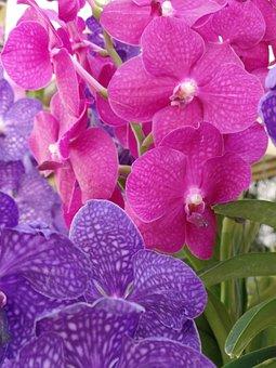 Orchid, Purple, Blossom, Pink, Petal, Floral, Tropical