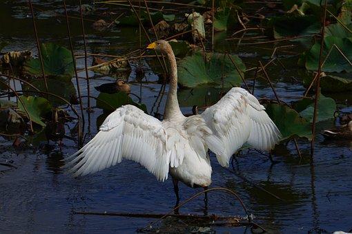 Animal, Pond, Waterside, Waterweed, Wild Birds, Swan