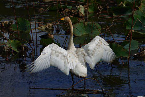 Animal, Pond, Waterside, Waterweed, Wild Birds, Swan