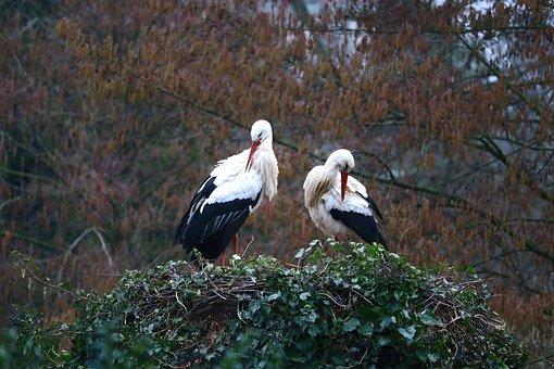 Stork, Nest, Bird, Storchennest, Animal, Nature, Breed