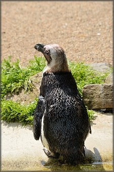 Penguin, Black Foot, Artis, Holland, Amsterdam, Zoo