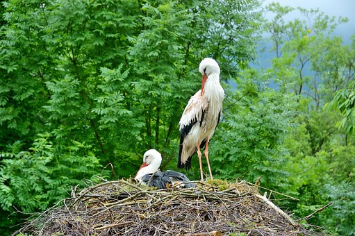 Storks, Nest, Storchennest, Birds, Breed, Stork Couple