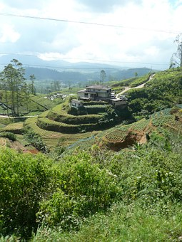 Tee, Cultivation Terraces, Ceylon, Sri Lanka, Landscape