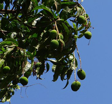 Mango, Mangifera Indica, Tropical Fruit, Green, Growing