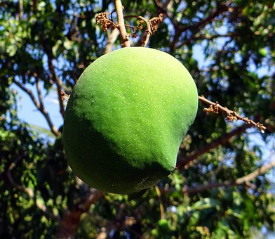 Mango, Mangifera Indica, Fruit, Tropical Fruit, Fresh