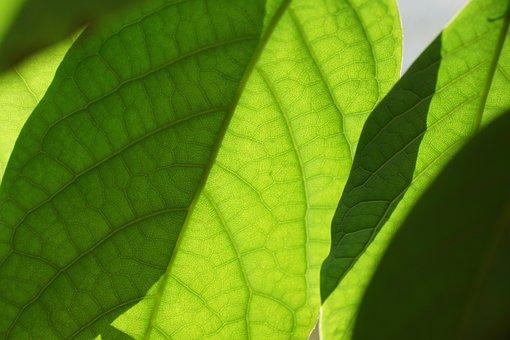 Leaves, Green, Mango, Plant, Leaf, Nature, Oganic