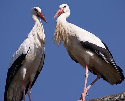 Stork, Bird, Birds, Nest, Storchennest, Nature, Plumage