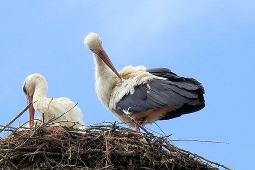 Stork, Stork Couple, Nest, Storchennest, Storks